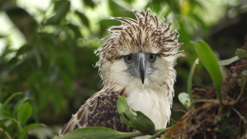 Watch an endangered Philippine eagle chick grow up in rare video