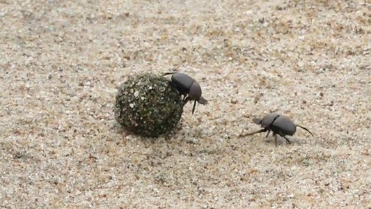 Dung beetles battle for a ball of poop