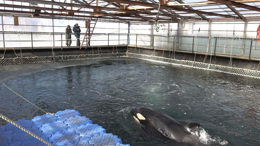 Nearly 100 captive orcas and belugas at risk of drowning, freezing to death