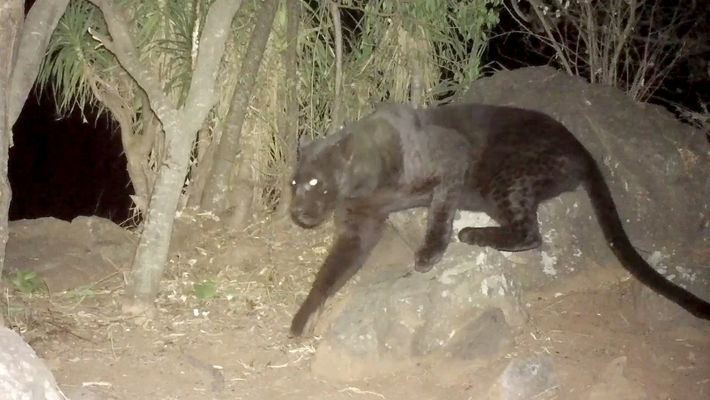 Remote cameras confirm rare black leopards living in Kenya