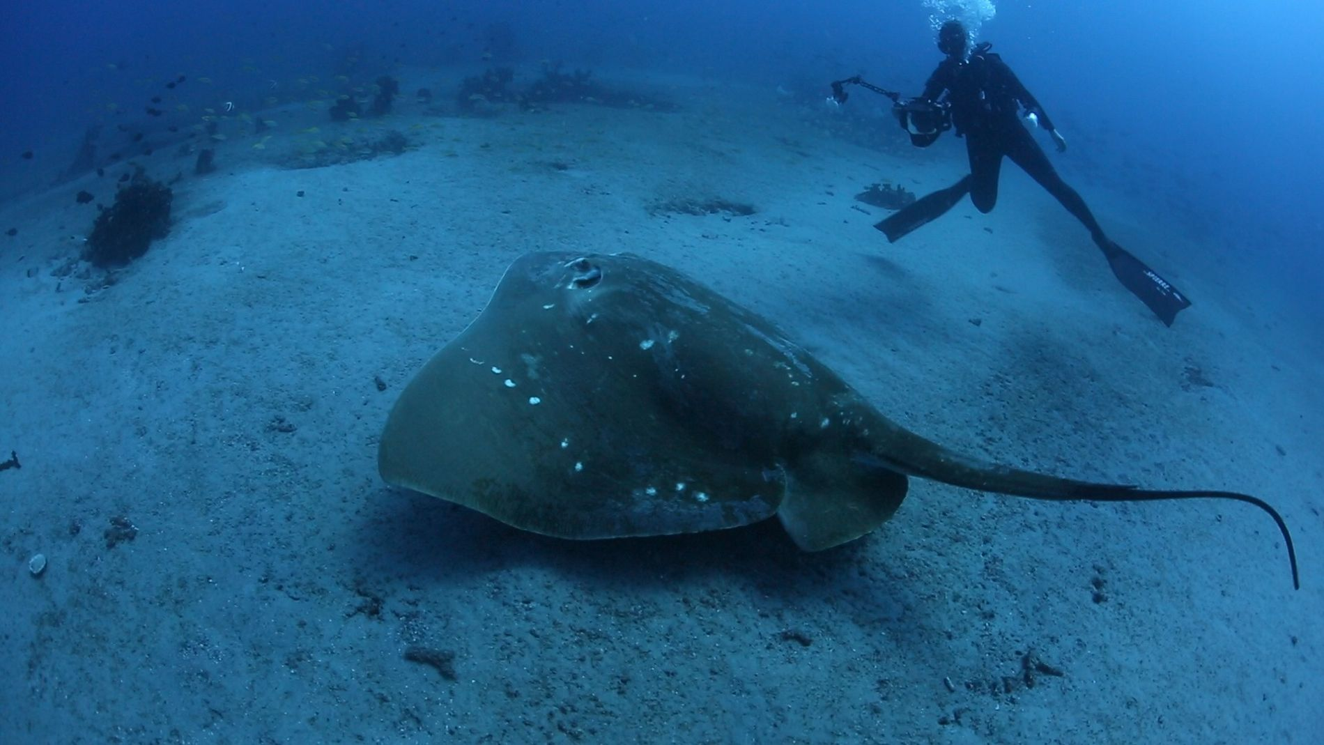 The ocean's largest, rarest stingray revealed in new video