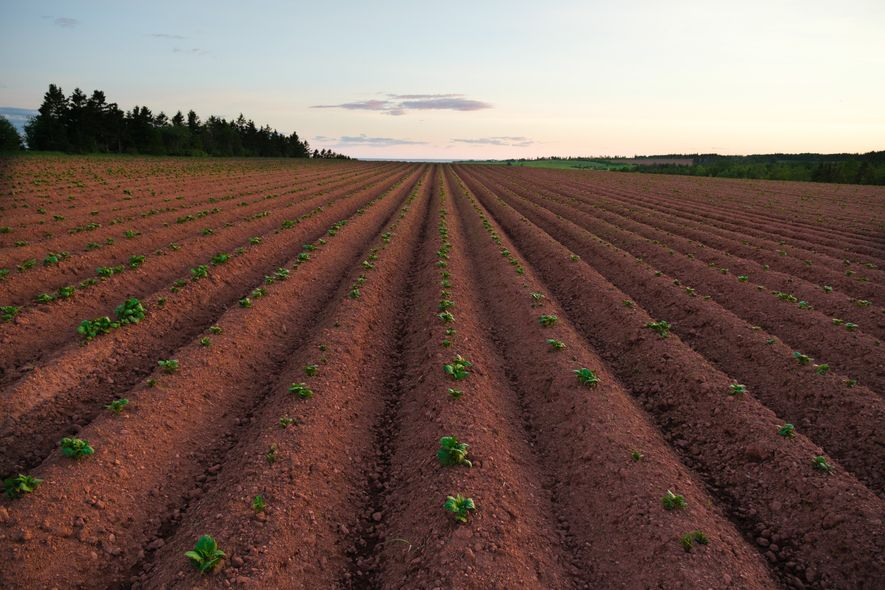 Prince Edward Island's iron-rich soil nurtures the province's world-famous potatoes, which are mainly grown on family ...