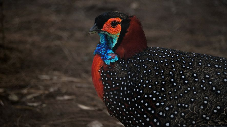 See why this colourful 'king of birds' is at the centre of conservation efforts