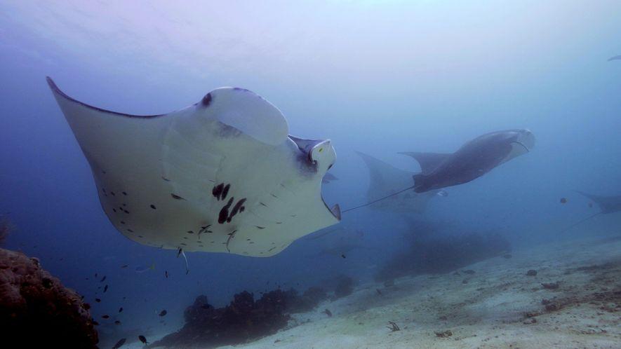 Inside the surprisingly social lives of manta rays