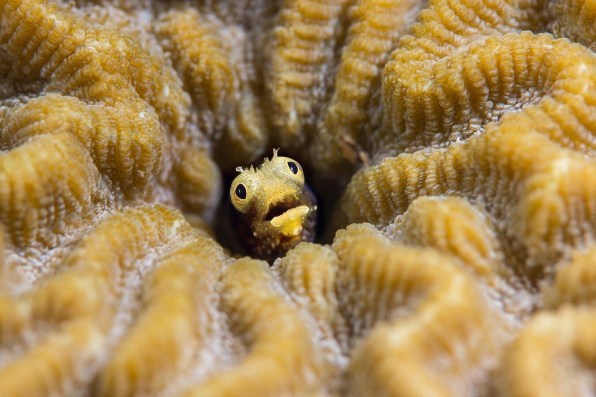 Underwater photographer Stéphane Jamme spotted this little fish hiding in the hollow of a coral, in ...