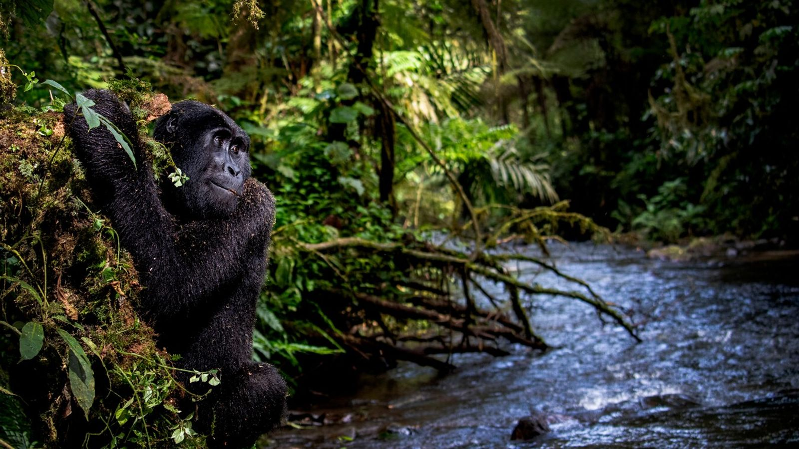 Gorilla by the water