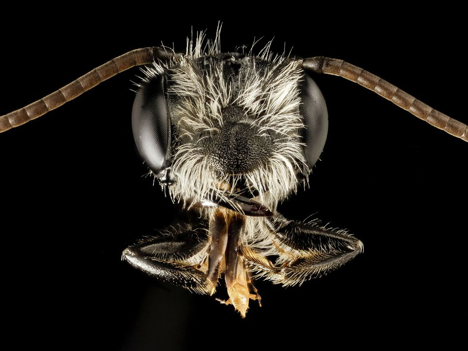 Sex, Lies, and Grappling Hooks: How Parasitic Beetles Trick Bees