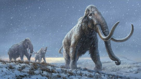 One million years ago, Siberian steppe mammoths carried many of the genetic adaptations for low temperatures ...