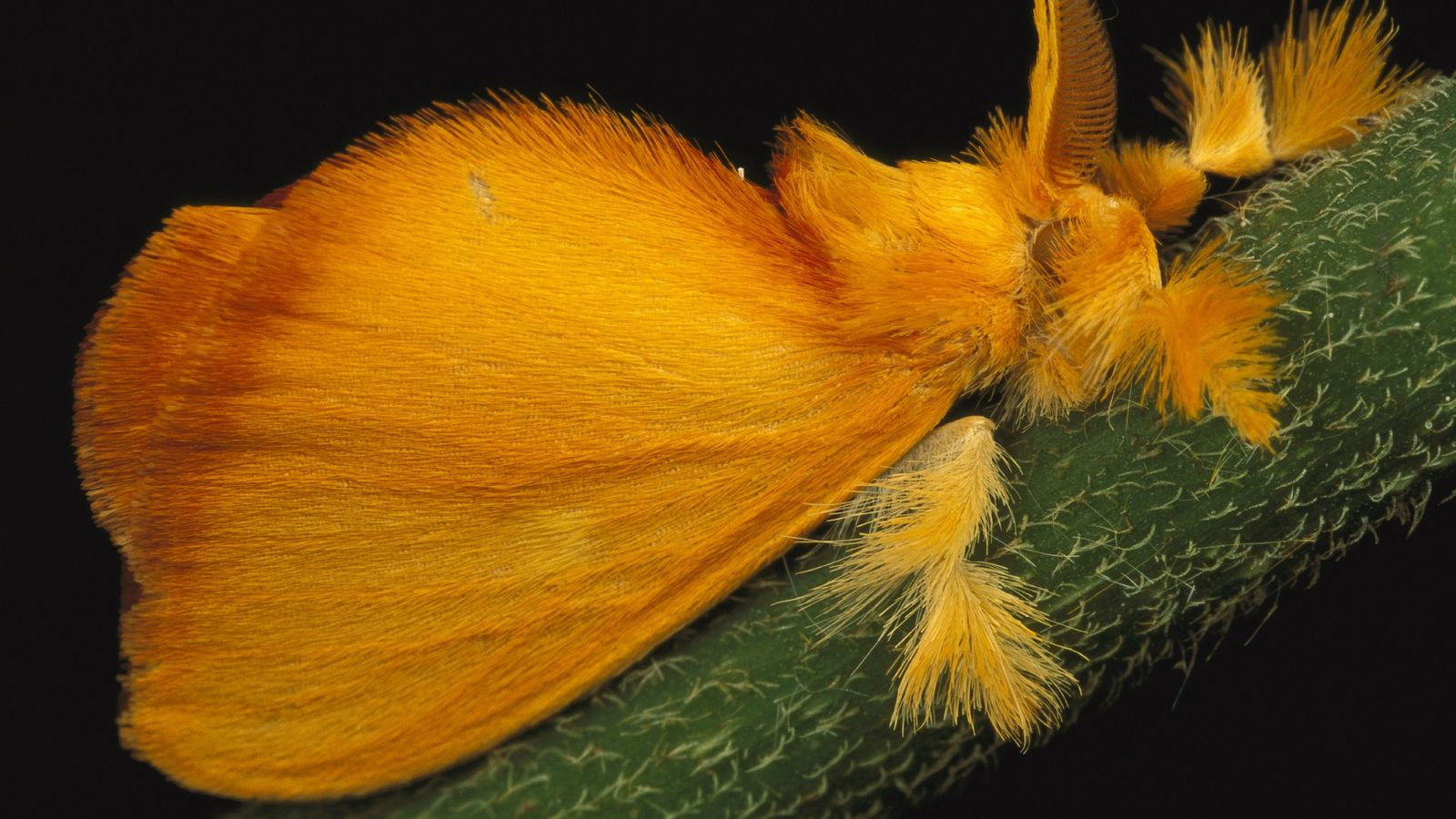 This tropical jewel moth, Acraga coa, is found mostly in Central America. Jewel moths undergo a ...