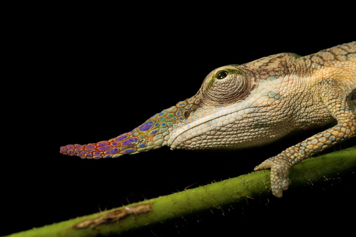 Long-nosed chameleons like this one in Madagascar sometimes use their snouts to joust. Their noses also ...