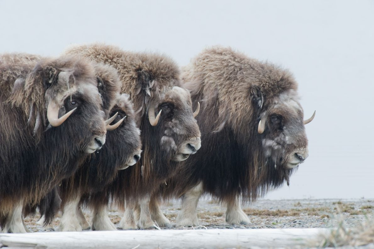 Musk oxen put up a defensive ring around their young in Alaska's Arctic National Wildlife Refuge.