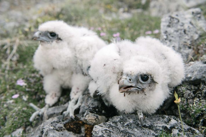 These gyrfalcon chicks are about 25 days old and ready to be banded by biologists so ...