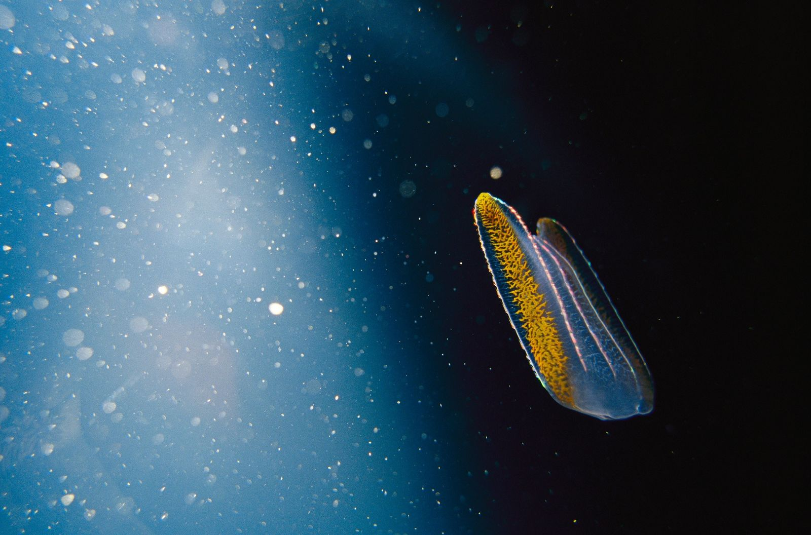Secret Lives of Jellyfish: Robots, Genetics, and World Domination