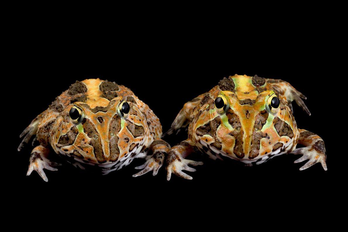 Juvenile Stolzmann's horned frogs, (Ceratophrys stolzmanni).