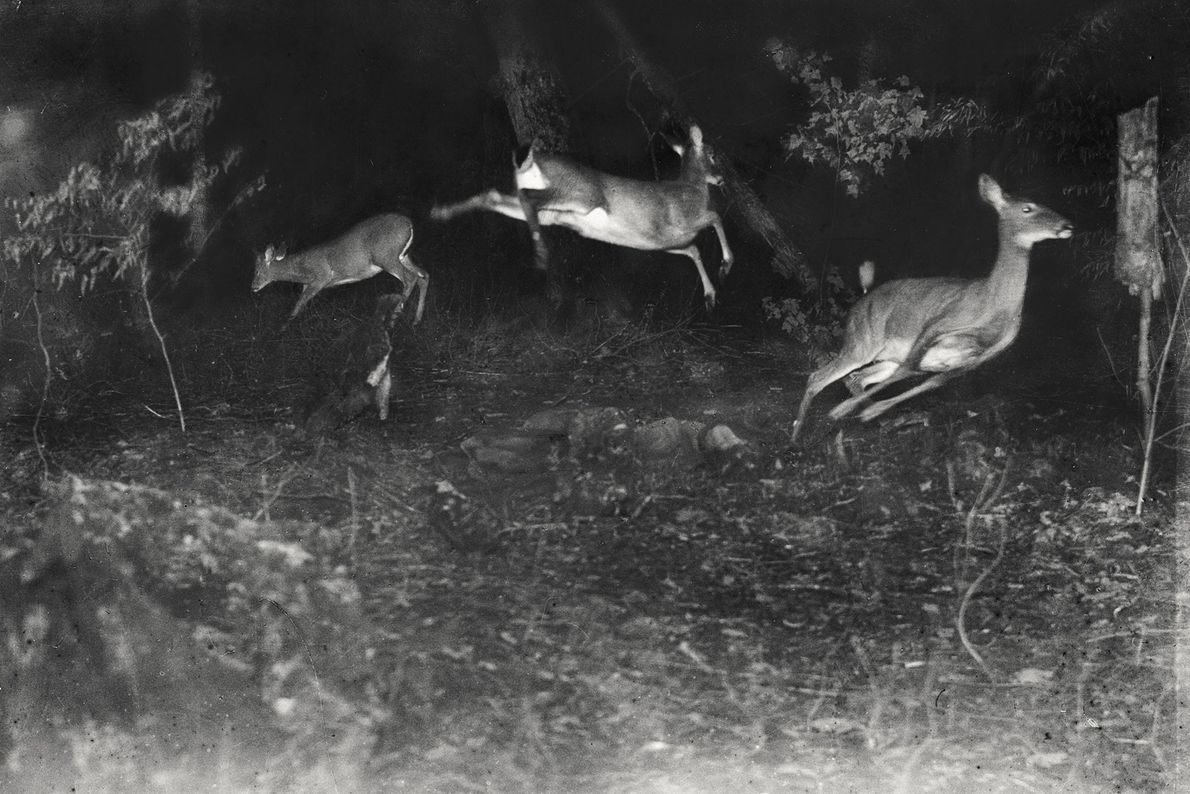 Three white-tailed deer flee in this earliest night-time flash photograph taken in Michigan, date unknown.