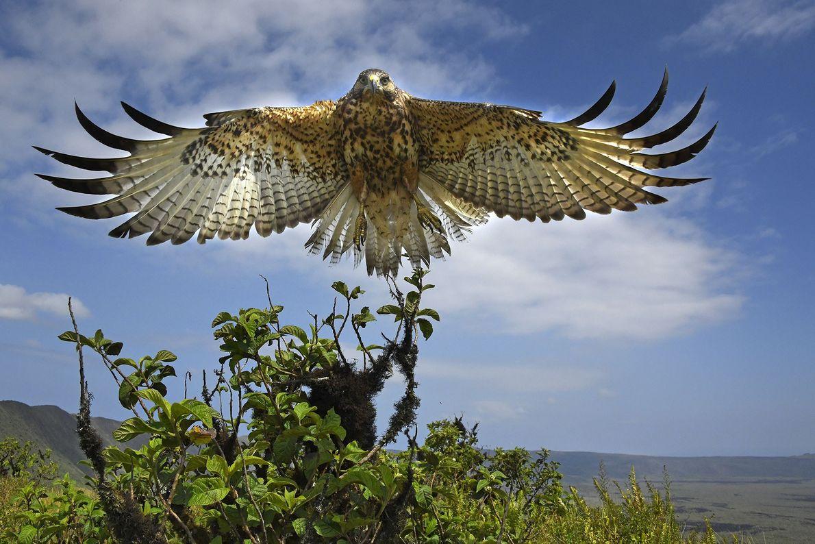 Galapagos hawk, Isabela Island, Galapagos Islands.