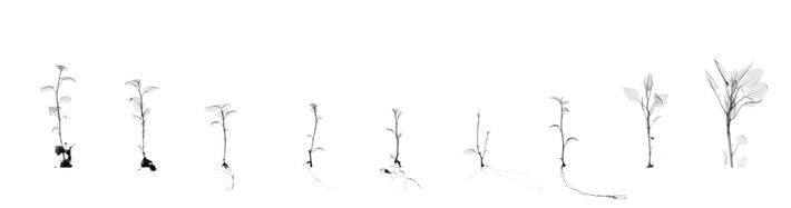 Doherty made this digital collage using x-rays of blight-resistant potato clones captured at the National Center ...