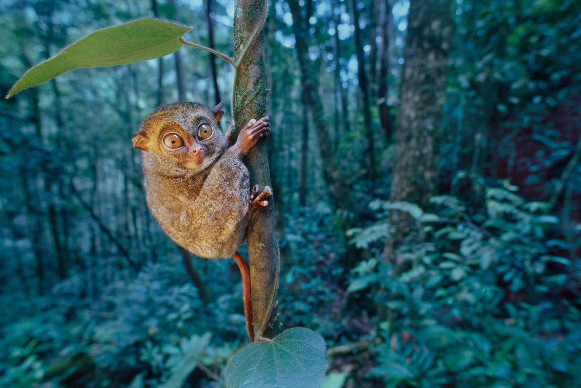 A western tarsier grasps onto a tree in the Malaysian state of Sabah on the island ...