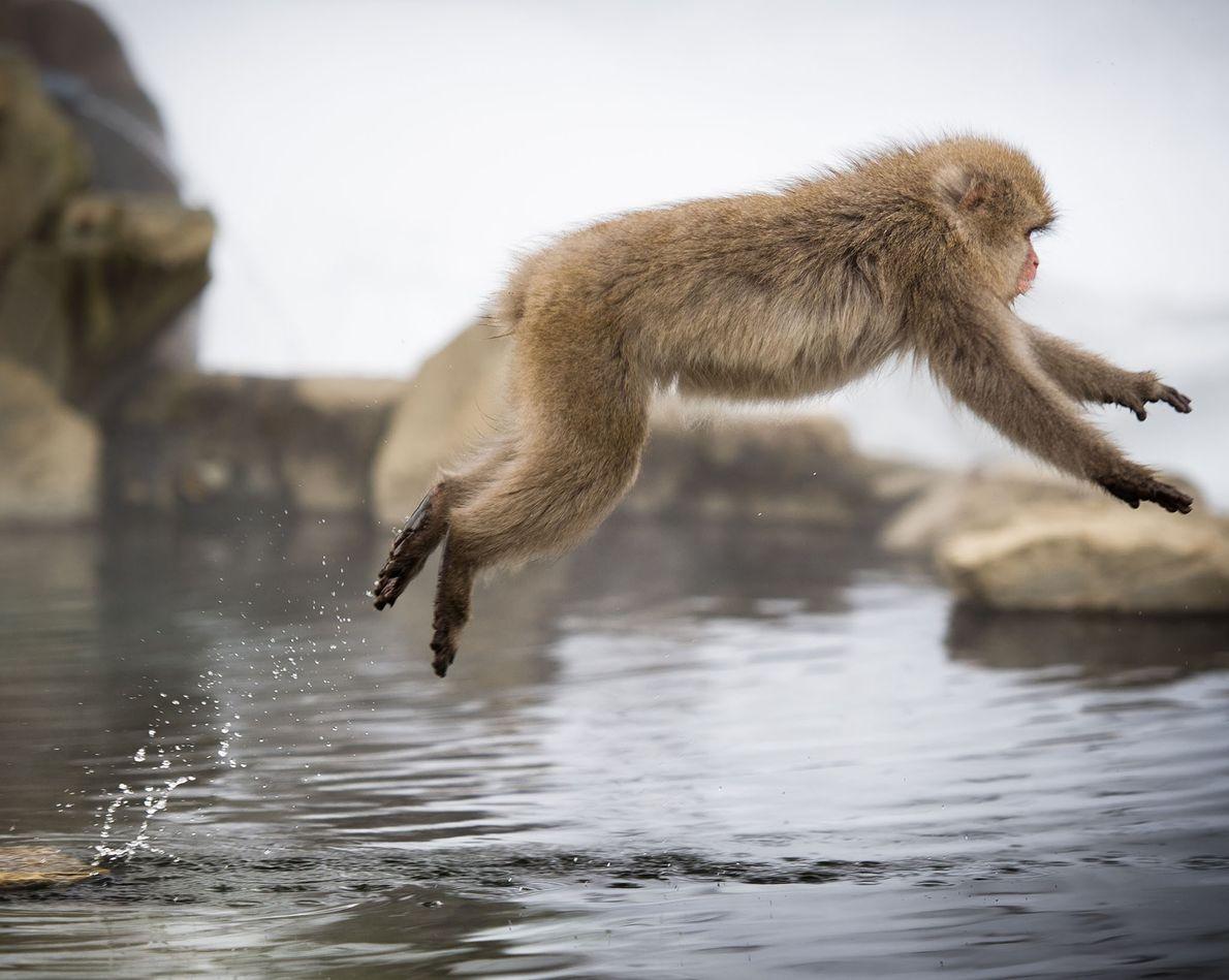 A Japanese macaque hops over the natural hot springs at Jigokudani Monkey Park in Nagano, Japan.