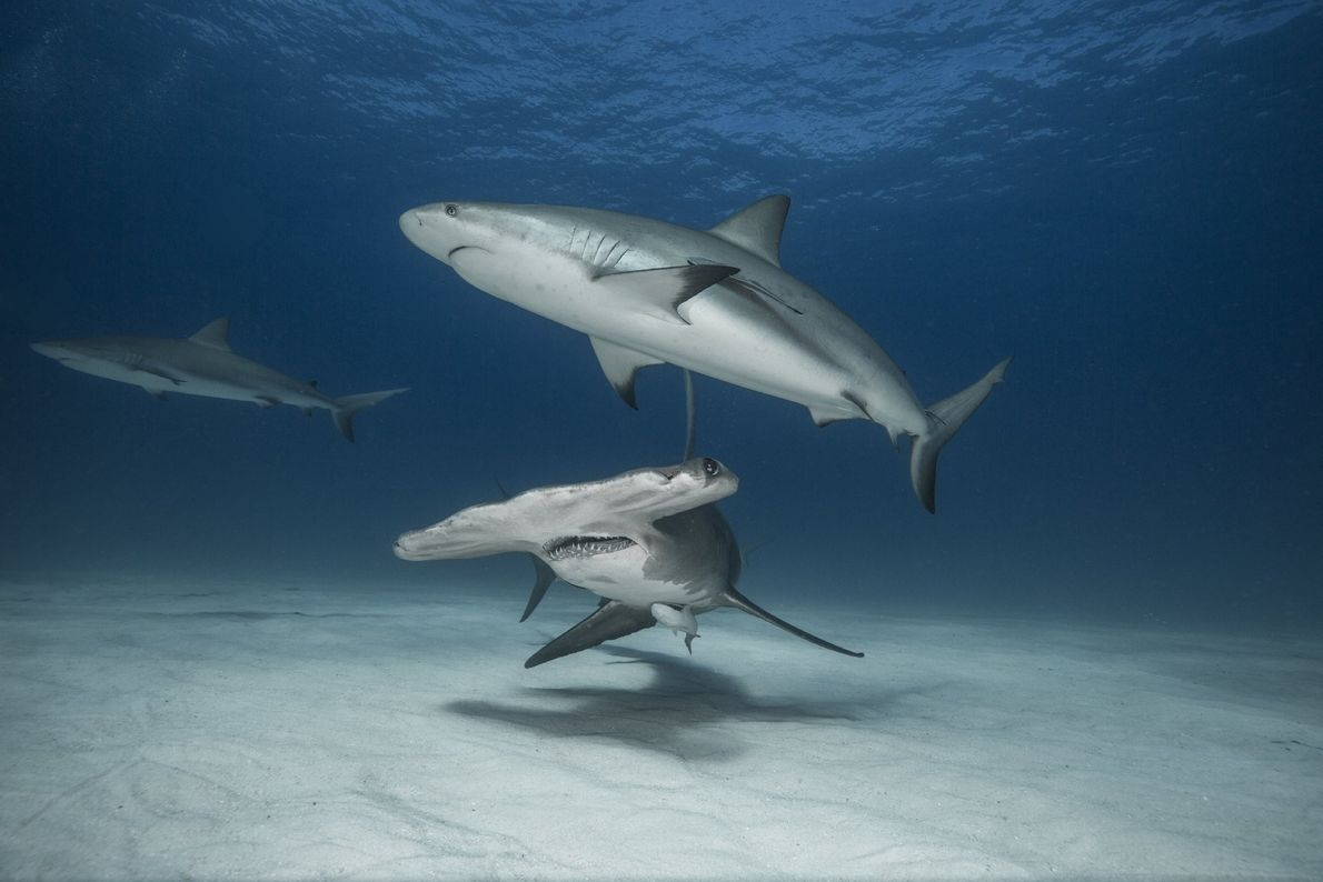 """A trio of the oceans predators patrol the sandy banks of Tiger Beach in the Bahamas,"""" ..."""