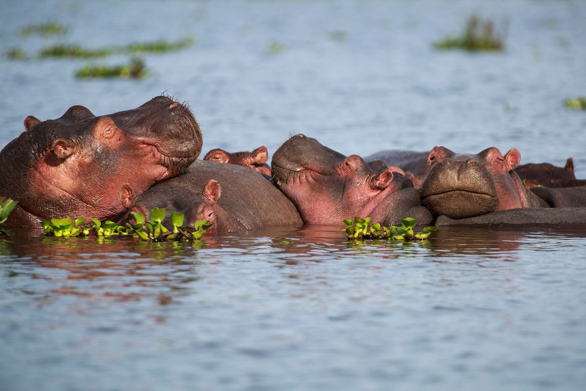 """""""These hippo have found the best way to sleep through the morning—cuddling!"""" writes Your Shot photographer ..."""