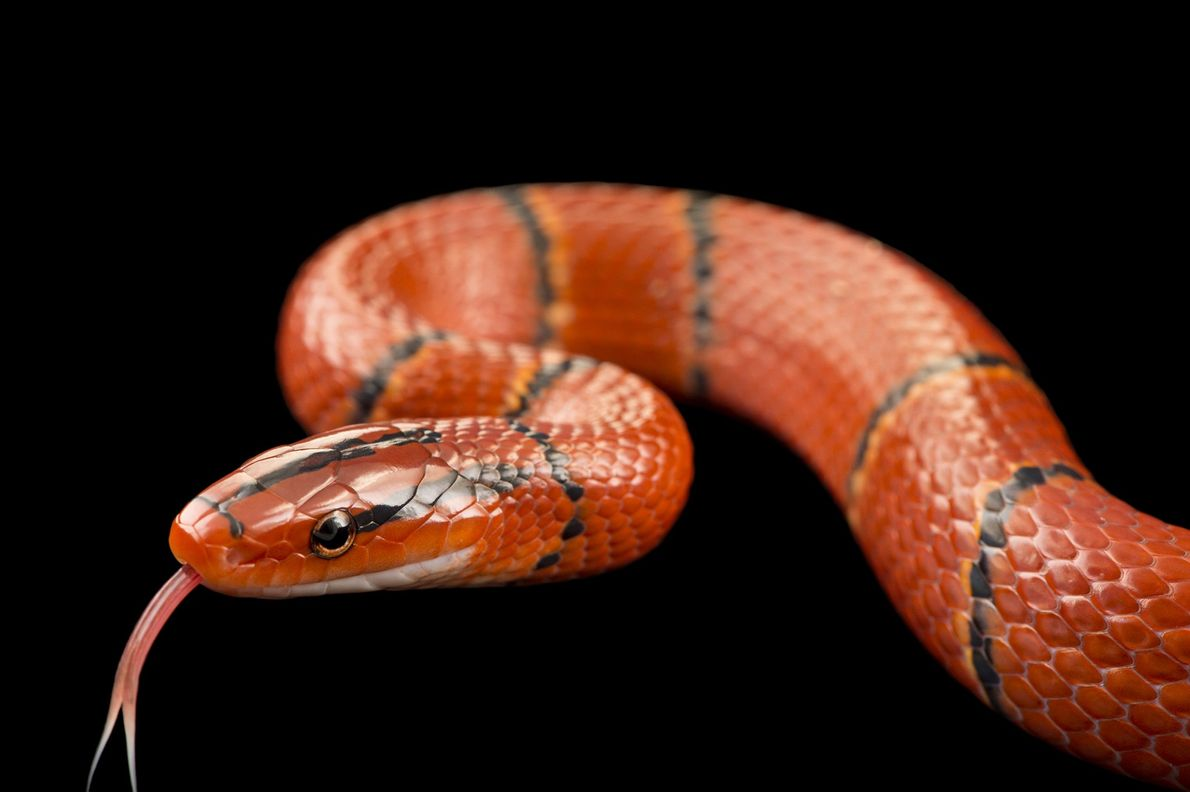 A red bamboo snake, 'Oreocryptophis porphyraceus laticincta', from a private collection in Saint Jean de Bournay, ...