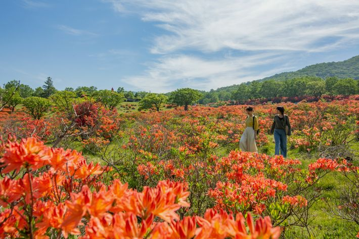The summit of Mount Akagi has beautiful wildflower meadows, where azaleas bloom crimson from May to June.