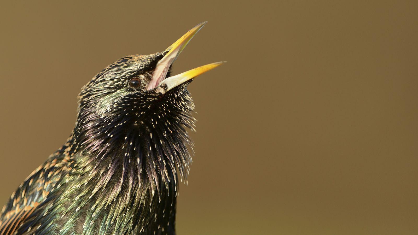 The starling, 'Sturnus vulgaris', has glossy green and purple feathers.