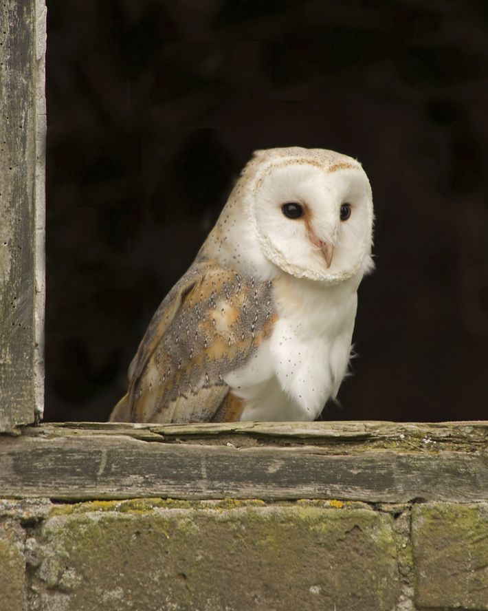 Living up to its name, this barn owl perches in the broken window of a barn. ...