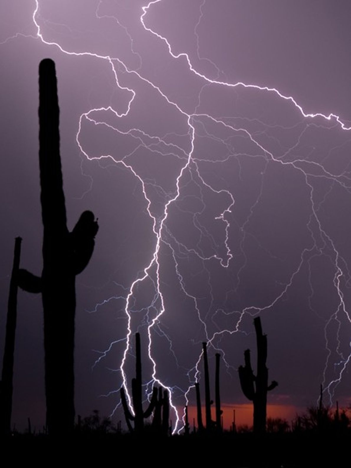 Saguaro cacti stand in the desert as a thunderstorm rolls overhead. Lightning in dry areas increases ...