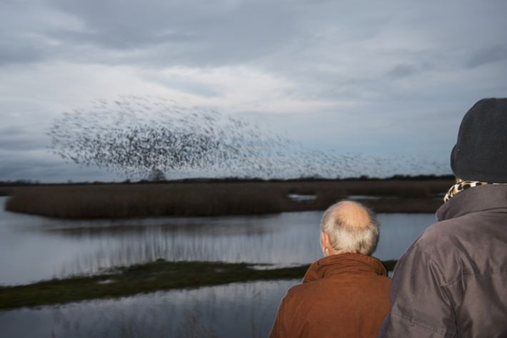 Birdwatchers enjoying the starling mumuration above the reed beds of RSPB Otmoor Nature Reserve, Beckley, Oxfordshire.