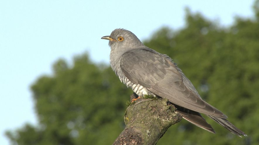 Cuculus canorus, or common cuckoo, perched on a branch in Essex, England. The name may suggest ...