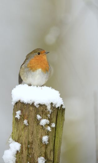 Victorian postmen, dressed in scarlet jackets, delivering Christmas cards, are thought to have started the robin's ...