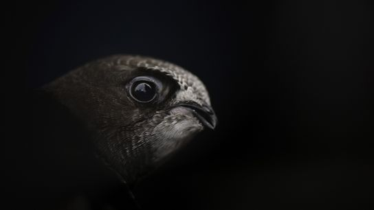 Swifts are in need of nest boxes to assist their breeding here in the UK. While ...