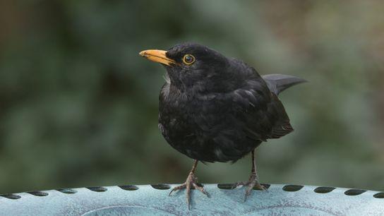 A blackbird, 'Turdus merula', adult male takes a drink from a garden bird bath.