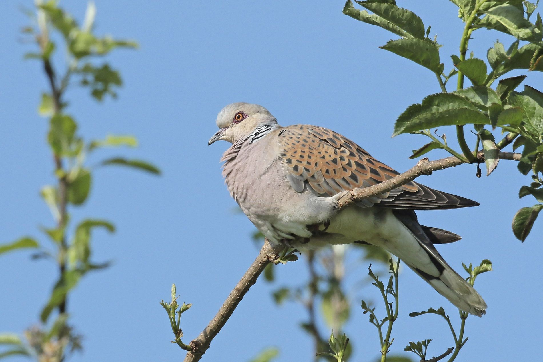A turtle dove at an RSPB Reserve in Essex. The bird's name is down to its ...