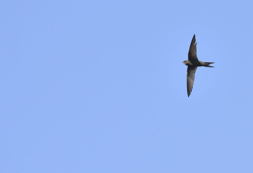 Swifts have a distinctive shape and can be spotted in the UK from April or early ...
