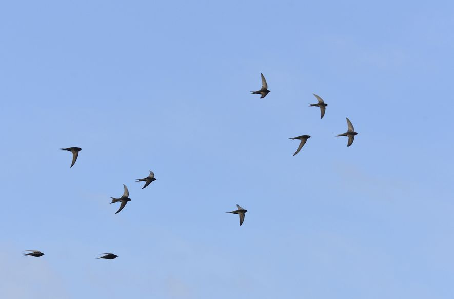 The Swift spends most of its life on the wing and the only time it rests ...
