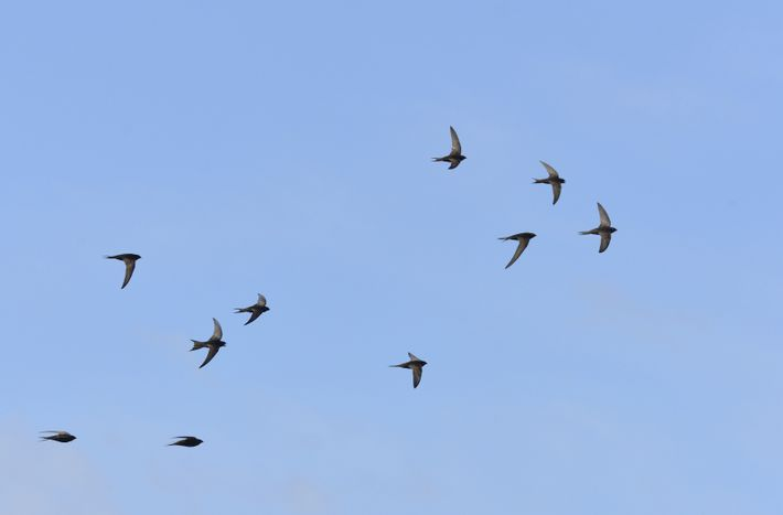 The stirring sight of swifts overhead.