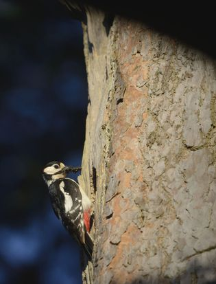 Great spotted woodpeckers drum on trees and telegraph poles to warn other woodpeckers away from their ...