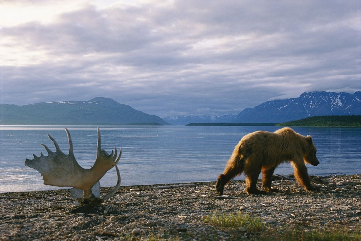Picture of a grizzly bear walking by moose antlers at Naknek Lake in Alaska
