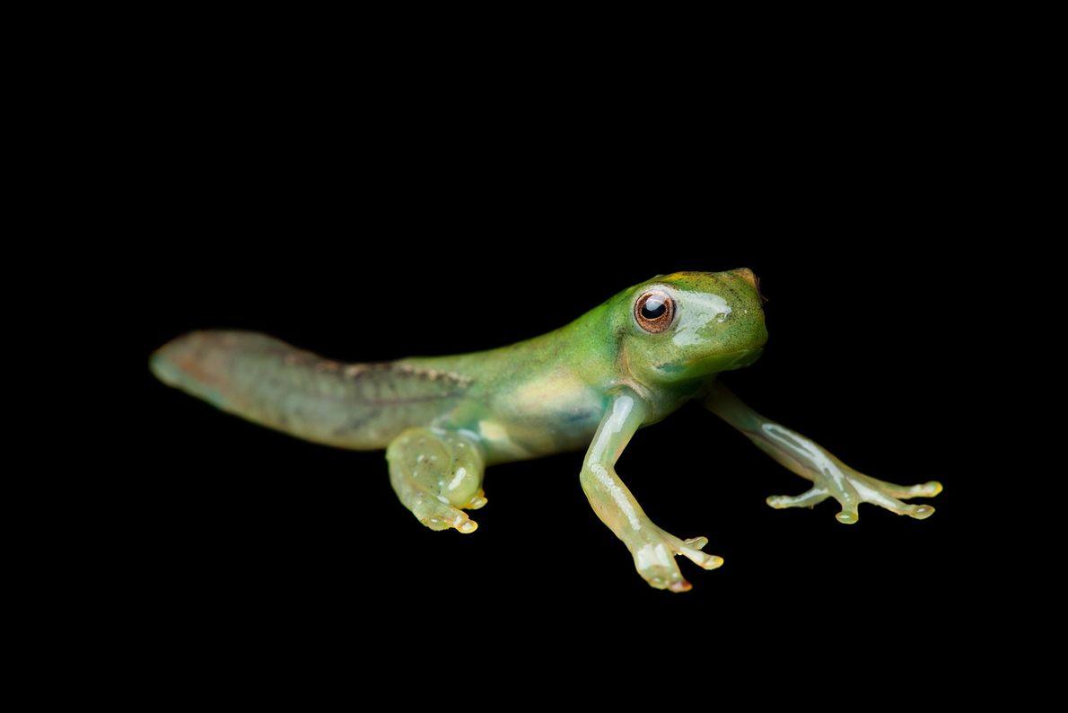 Metamorphosis of a roque treefrog, (Hyloscirtus phyllognathus).