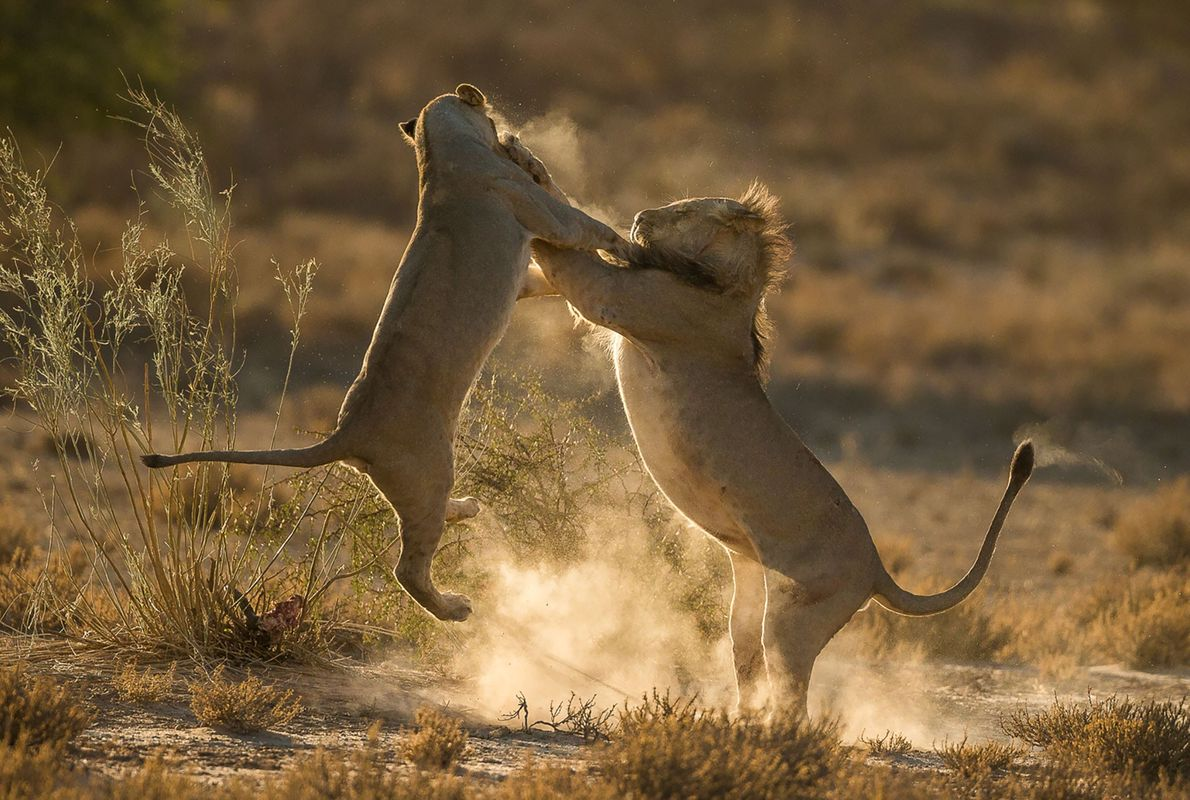 Lions grapple in South Africa.