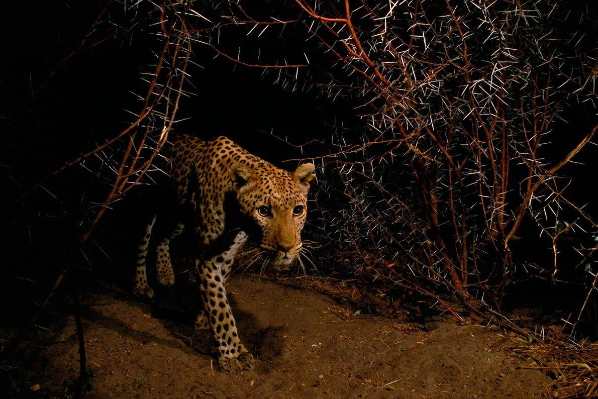 A leopard prowls through a thornbush in Chobe National Park, Botswana.