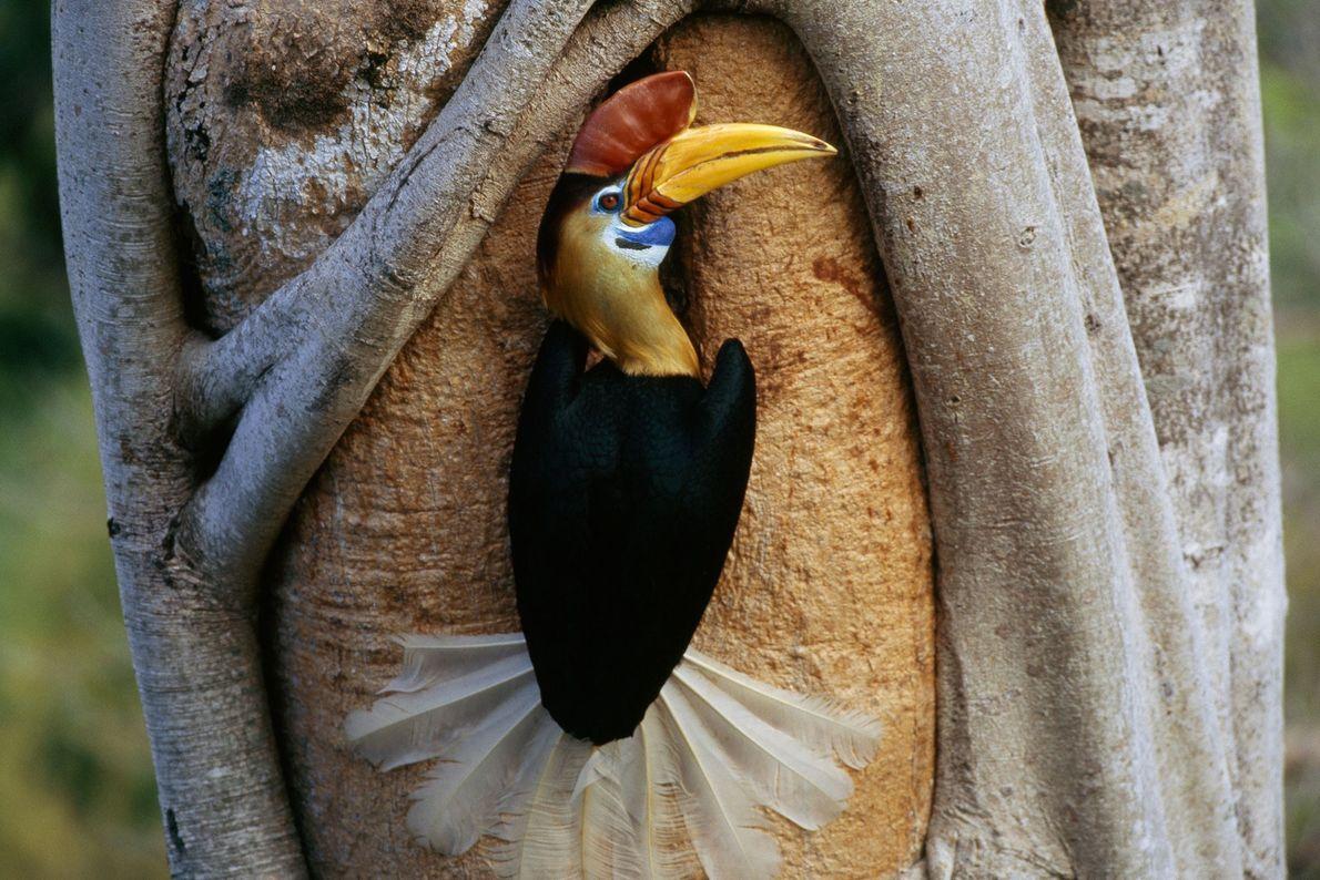Red knobbed hornbill, Tangkoko Reserve, Sulawesi Island, Indonesia.