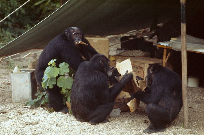 Cooperative endeavor to chew up a cardboard box belies a common notion that a dominant male ...