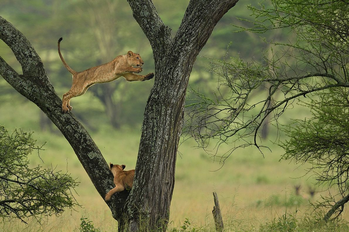 A lion leaps from branch to branch in Serengeti National Park, Tanzania.