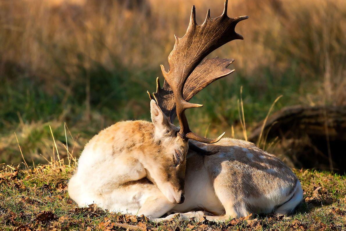 A fallow deer strikes a somnolent pose.