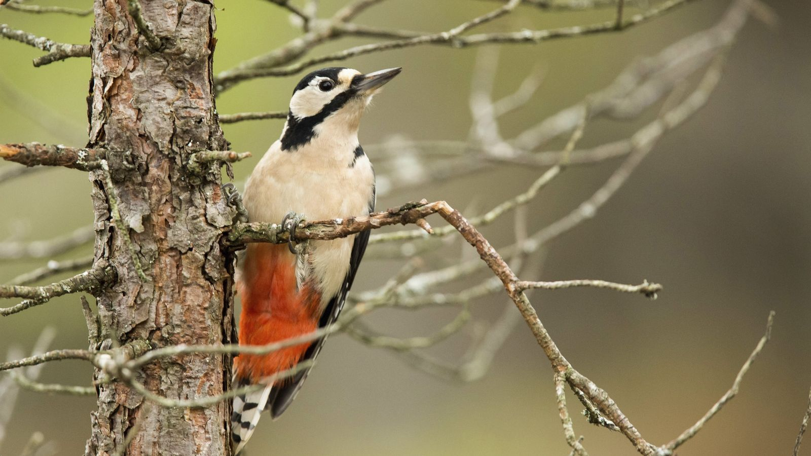A great spotted woodpecker, 'Dendrocopos major', adult perched on a Scots pine and looking for grubs.