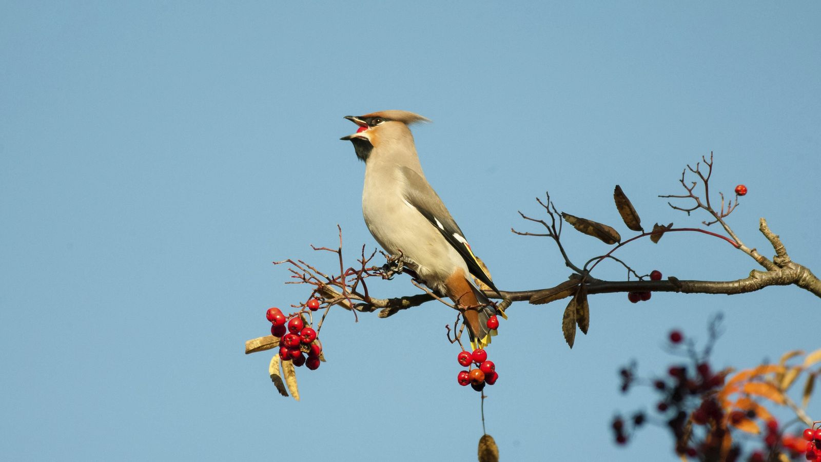 Waxwing return from Scandinavia and Russia to spend the winter in the UK, surviving on their ...